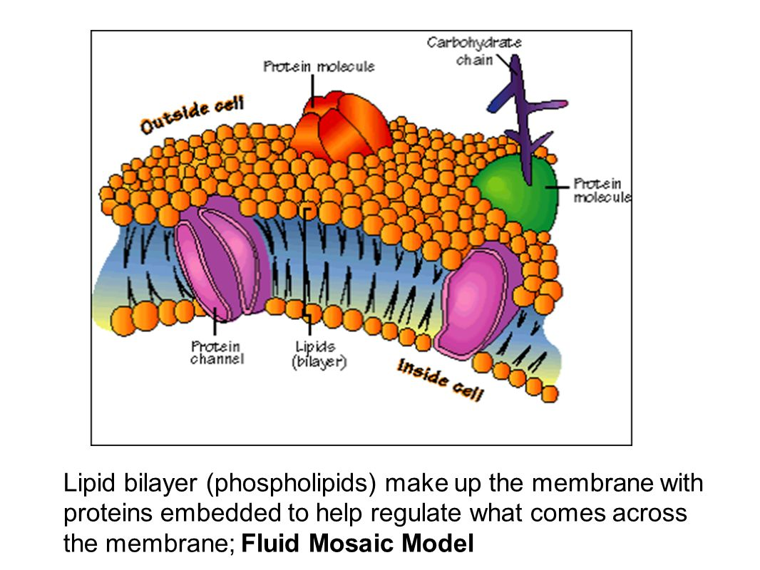 Build A Membrane : Cells anatomy physiology ppt video online download
