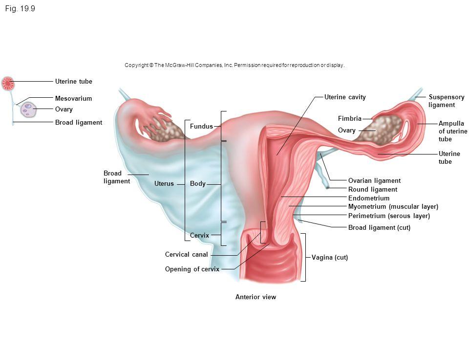 seminal vesicle ductus deferens prostate gland epididymis penis, Human Body