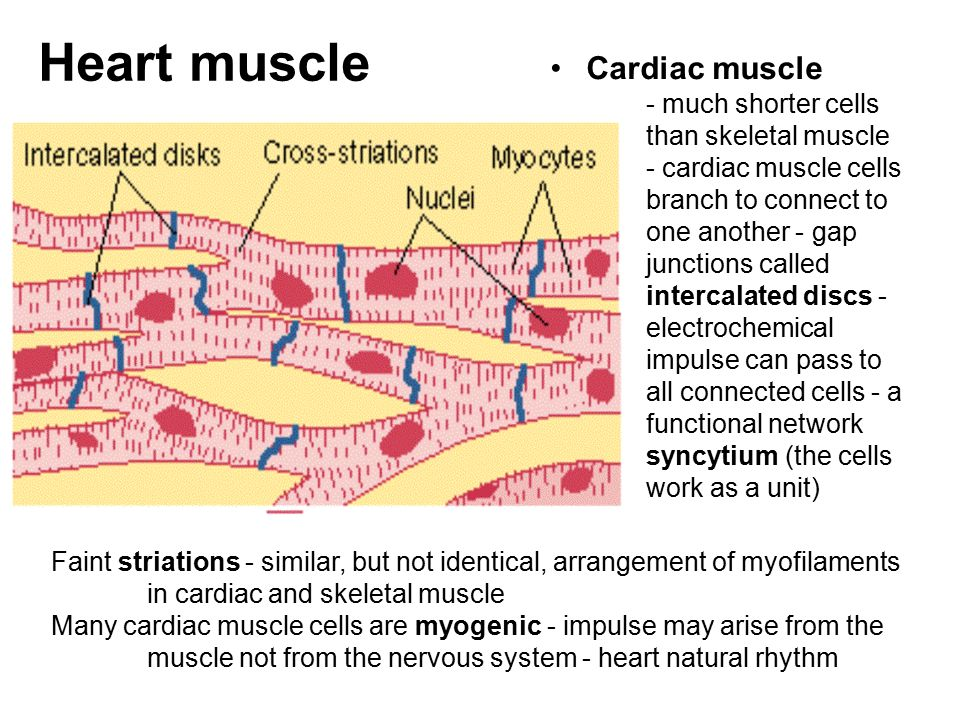 a look at the division of heart muscle cells or myocytes Researchers tried to force myocytes to divide using molecular maneuvers, 7, 8 force neonatal myocytes to engraft into mature hearts, 9 and even force chimeric marriage between skeletal muscle and the heart in attempts to restore contractile function 10, 11 a lot of hearts were broken, but we were not doing a very good job of fixing them.