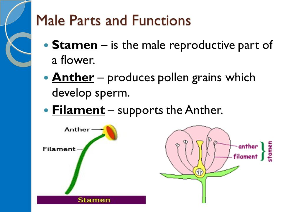 Flower Reproductive Parts Flowers Ideas For Review