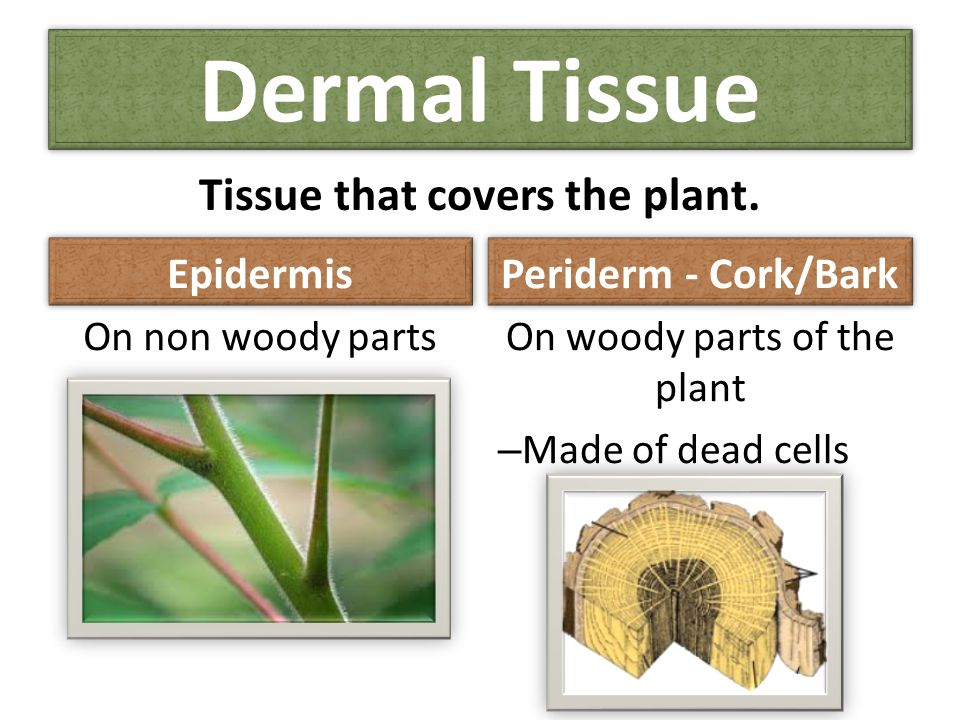 dermal tissues Overheads home ground tissue dermal tissue vascular tissues  website notes: plant tissues  i ground tissue - constitutes most of the primary body of a plant it occurs throughout the plant and provides several important functions, including storage, basic metabolism, and support.