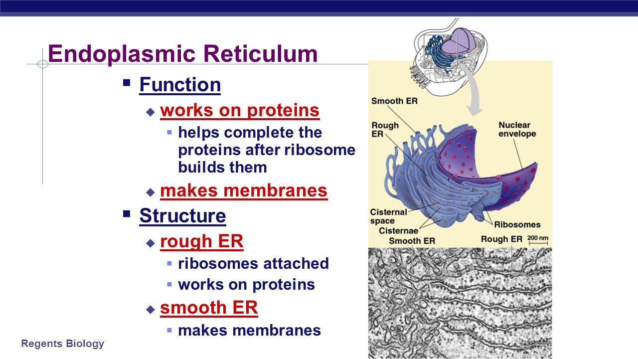 endoplasmic reticulum diagram  organelles organelles do the work of cells - ppt video ... #12