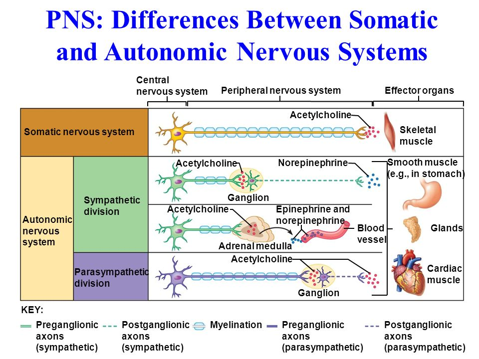 What Are the Differences Between a CNS & a PNS ... | 960 x 720 jpeg 128kB