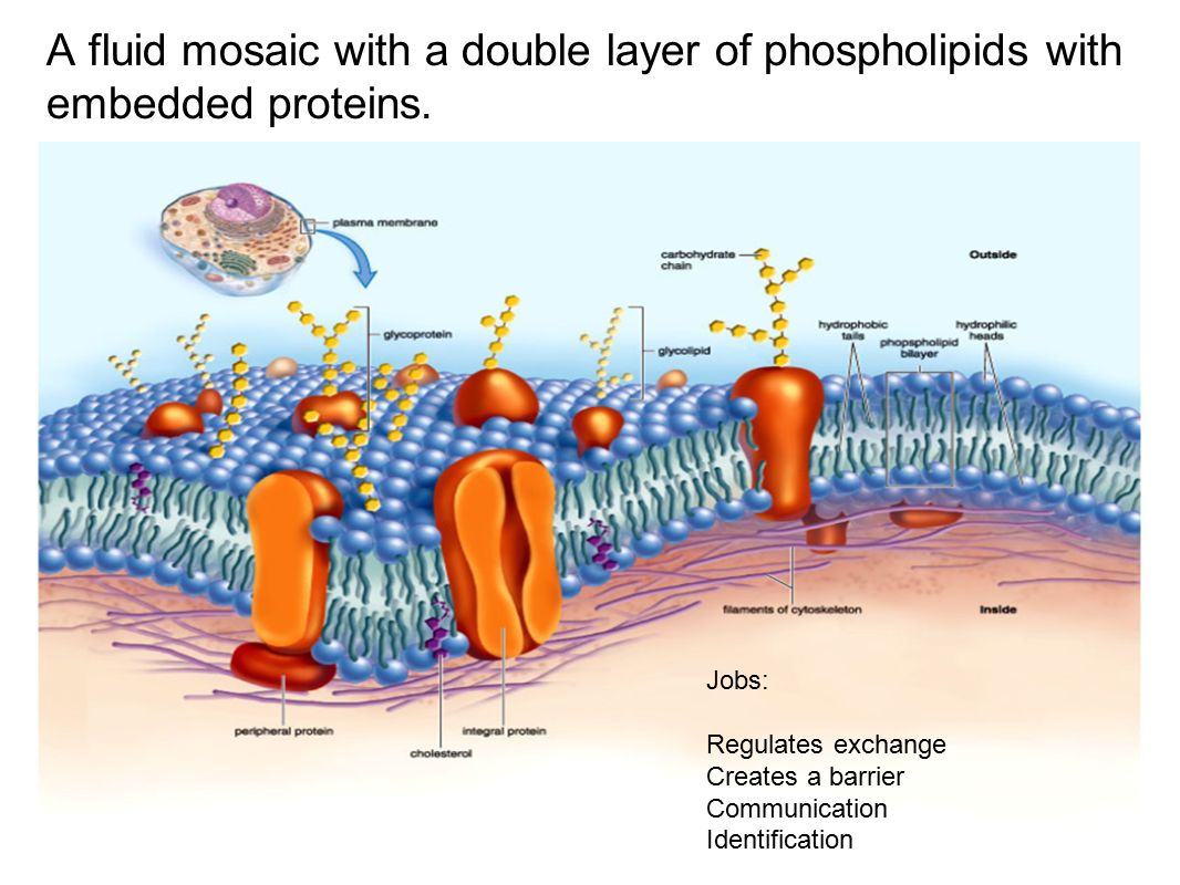 membranes cell membrane and purple dark Binding of volatile anesthetics to purple membranes studied structure and function of cell membrane as an of the retinal isomers in the dark-adapted.