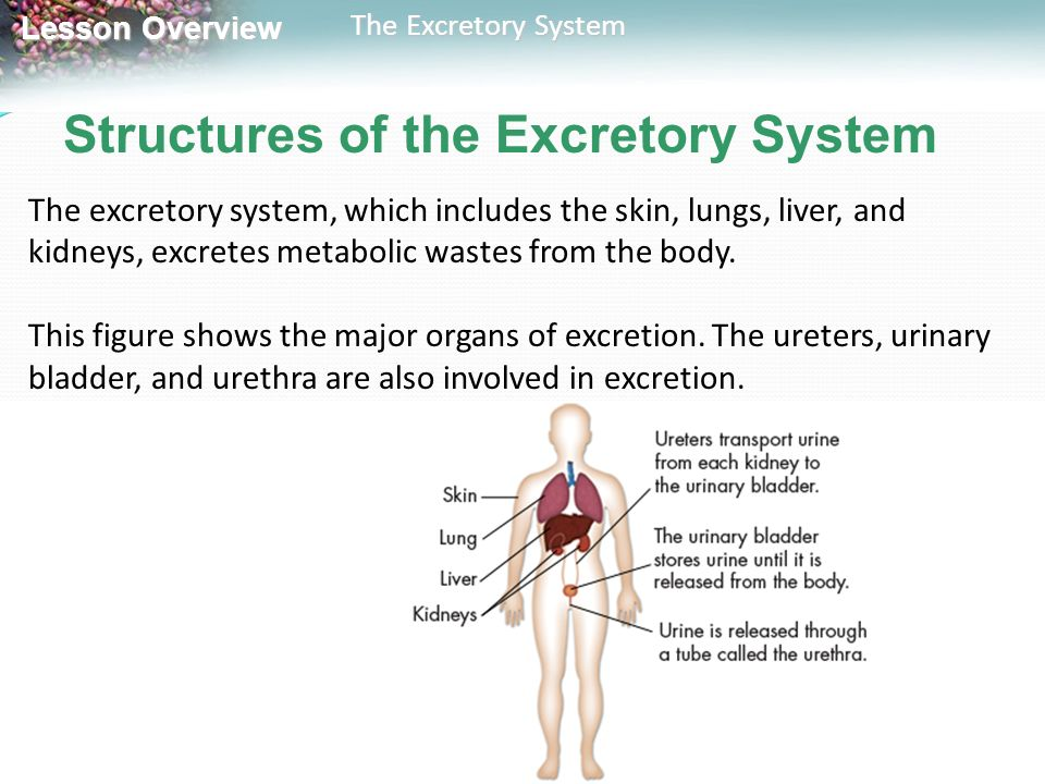 Urinary System Worksheet Doc Worksheet Excretory System Worksheet