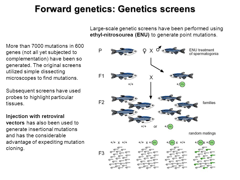 Recent advances using zebrafish animal models for muscle disease drug discovery