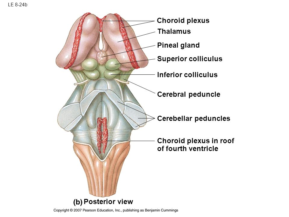 Contemporary Anatomy Pineal Gland Vignette - Anatomy And Physiology ...