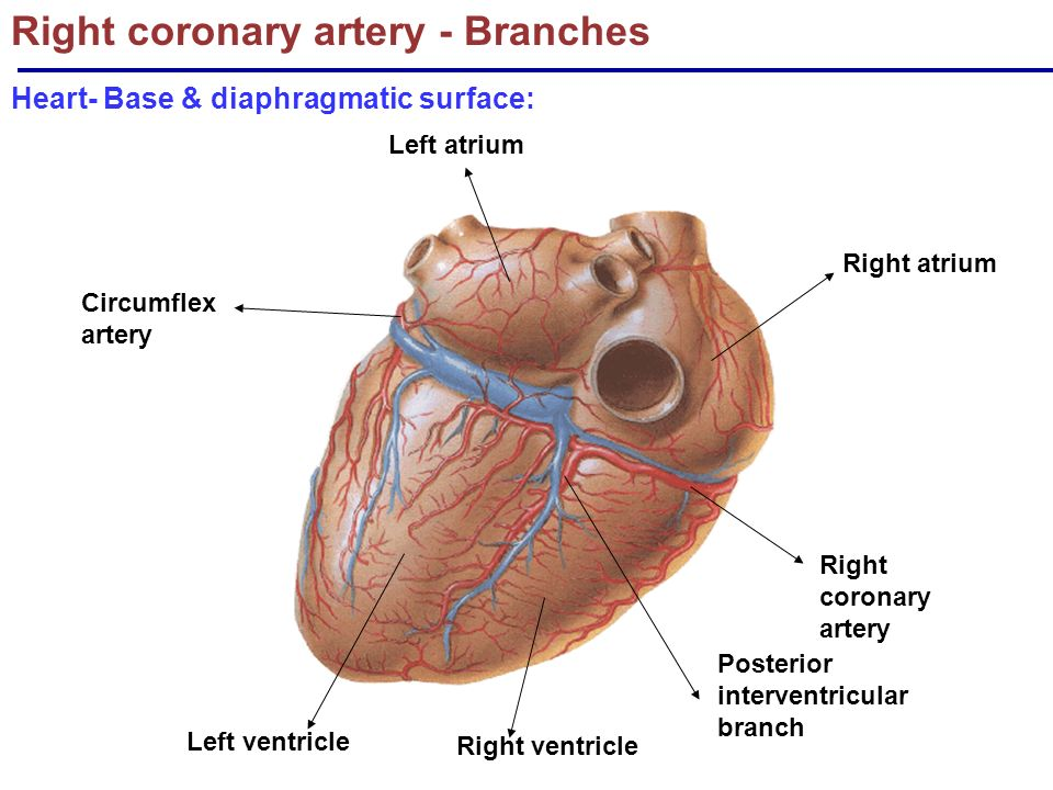 the cardiovascular system: blood supply & nerve supply of heart, Sphenoid