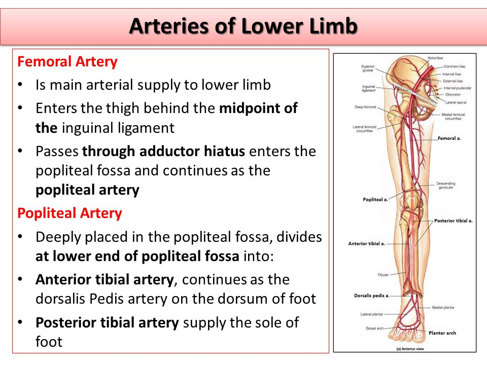 Arteries of Lower Limb Femoral Artery