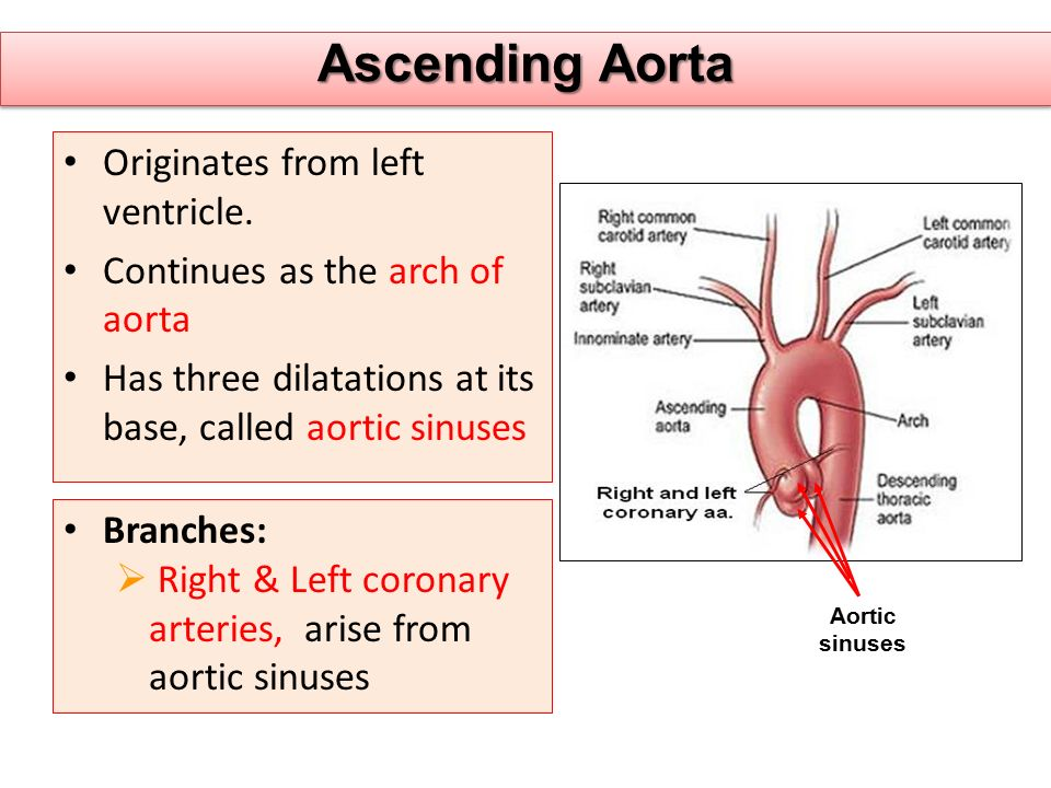 Ascending Aorta Originates from left ventricle.