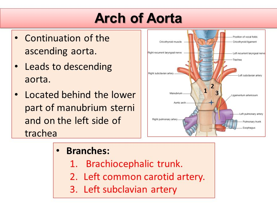 Arch of Aorta Continuation of the ascending aorta.