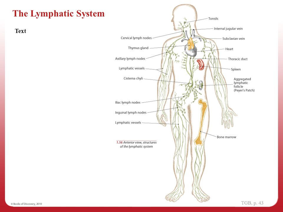 Lymphatic System Diagram Labeled Lymphatic System Diagram Labeled