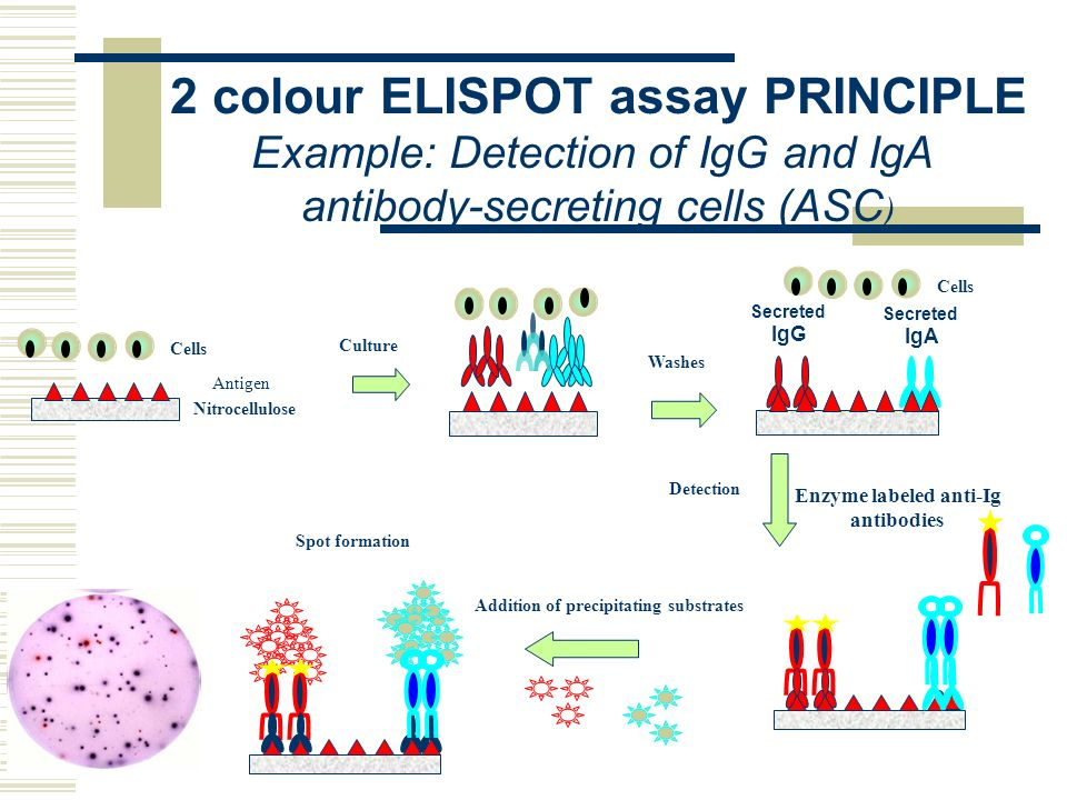 elispot assay principle Competition enzyme-linked immunosorbant assay (elisa) can be a sensitive method for the specific detection of small quantities of allergen in a complex mixture clin exp allergy, 36(4), pp525-530.