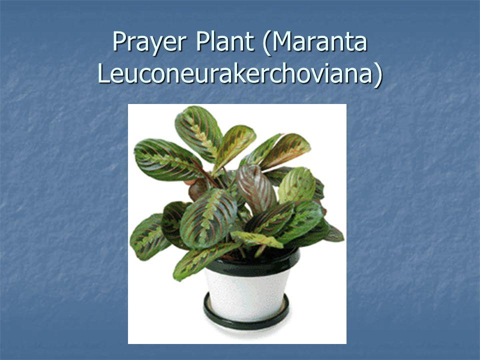 African violet saintpaulia ionantha ppt video online for Prayer palm plant