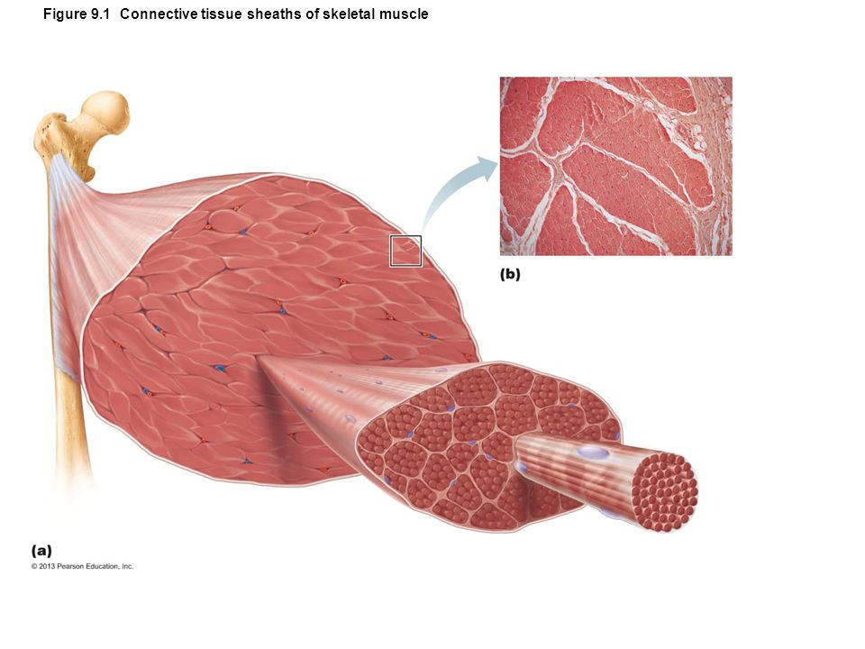 skeletal connective tissue Epithelial, connective, muscular, and nervous tissue epithelial tissue the functions of the epithelial tissue are: protection absorption filtration and excretion.