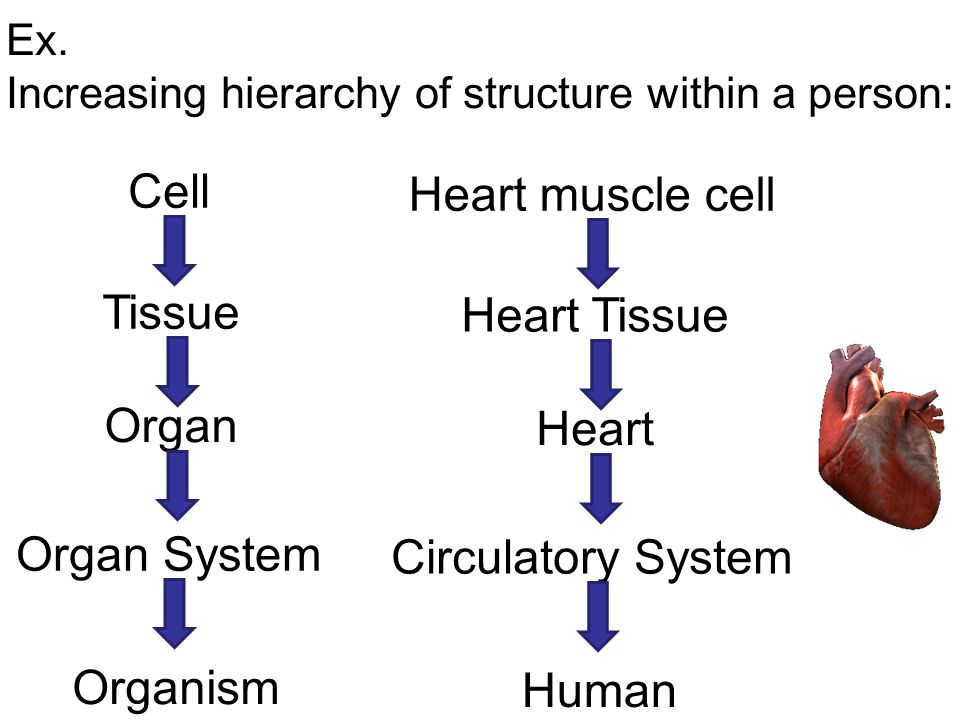 how is the animal body organized? - ppt video online download, Muscles