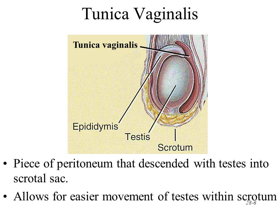 secrete testosterone