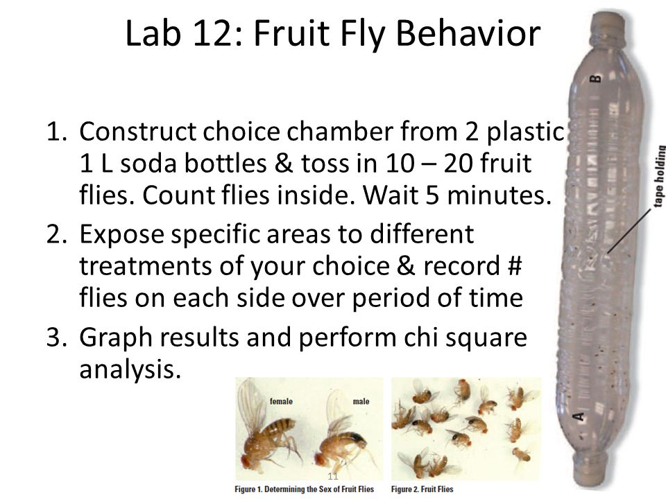 high school fruit fly lab Ity you will observe the growth of a fruit fly population as it exploits a food supply lab on this page explores growth in bacteria, an organism with a rapid life-.