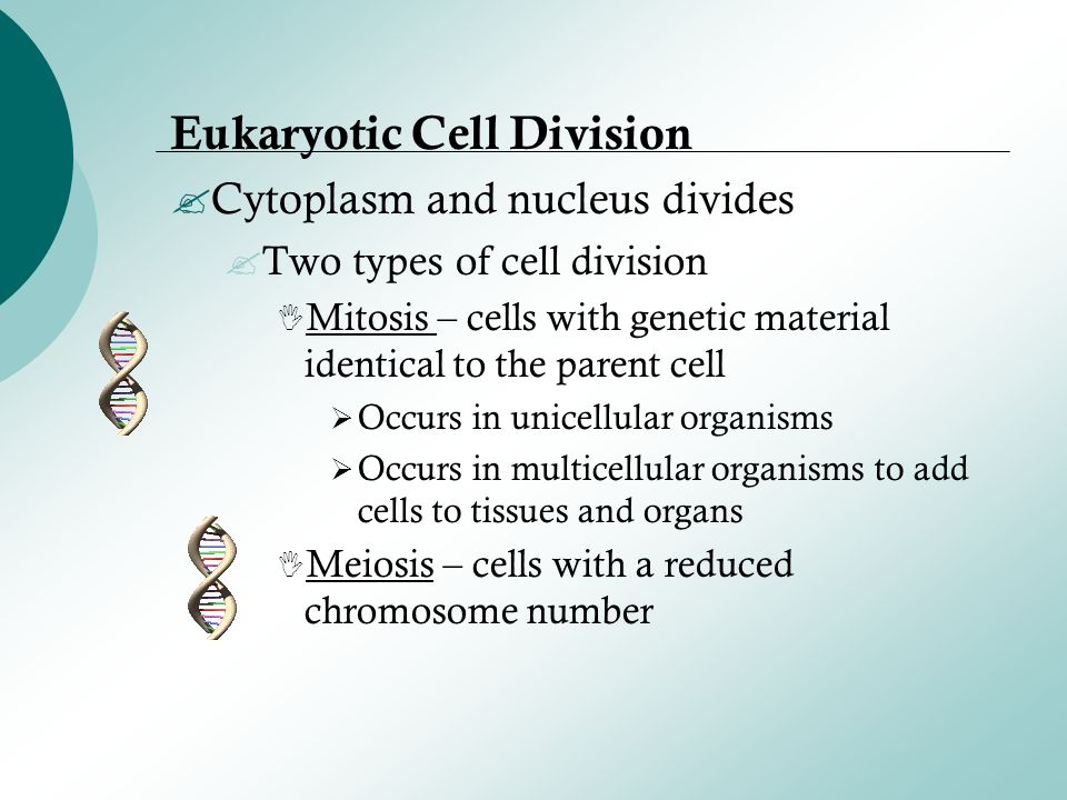 eukaryotic cell division Also, the pattern of cell division that transforms eukaryotic stem cells into gametes (sperm cells in males or egg cells in females), termed meiosis, is different from that of the division of somatic cells in the body.
