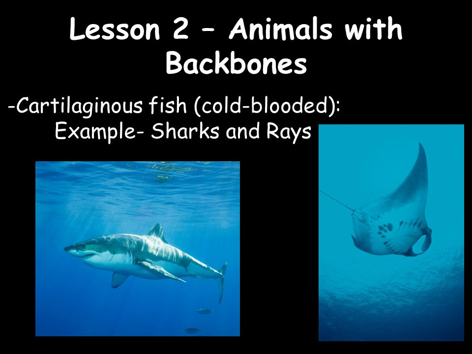 Lesson 2 animals with backbones ppt video online download for Cartilaginous fish examples