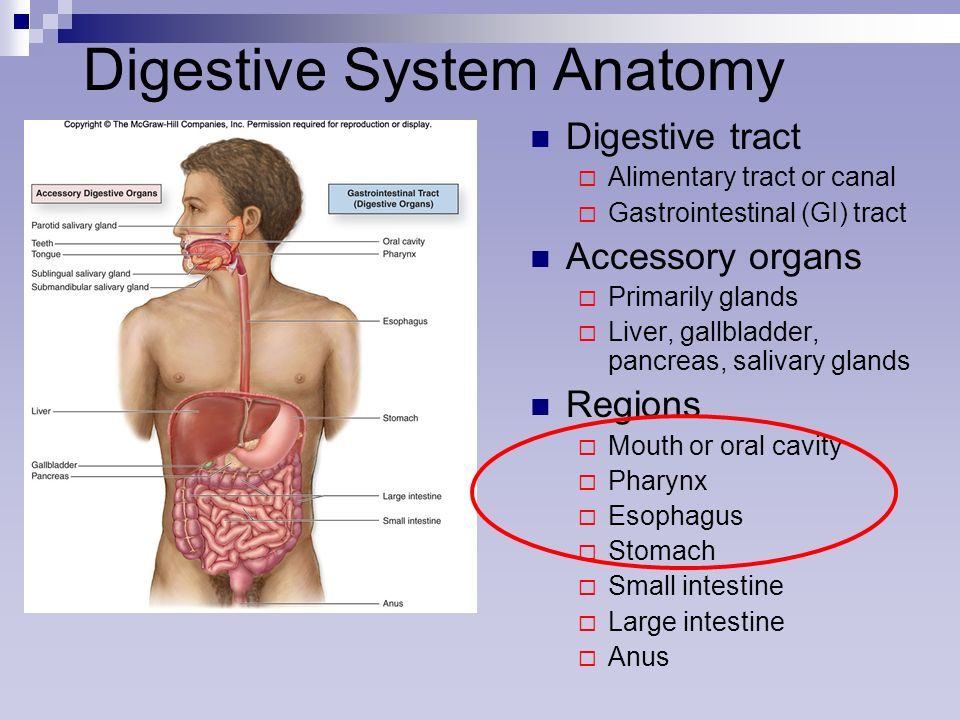 Digestive System Anatomy Ppt Video Online Download