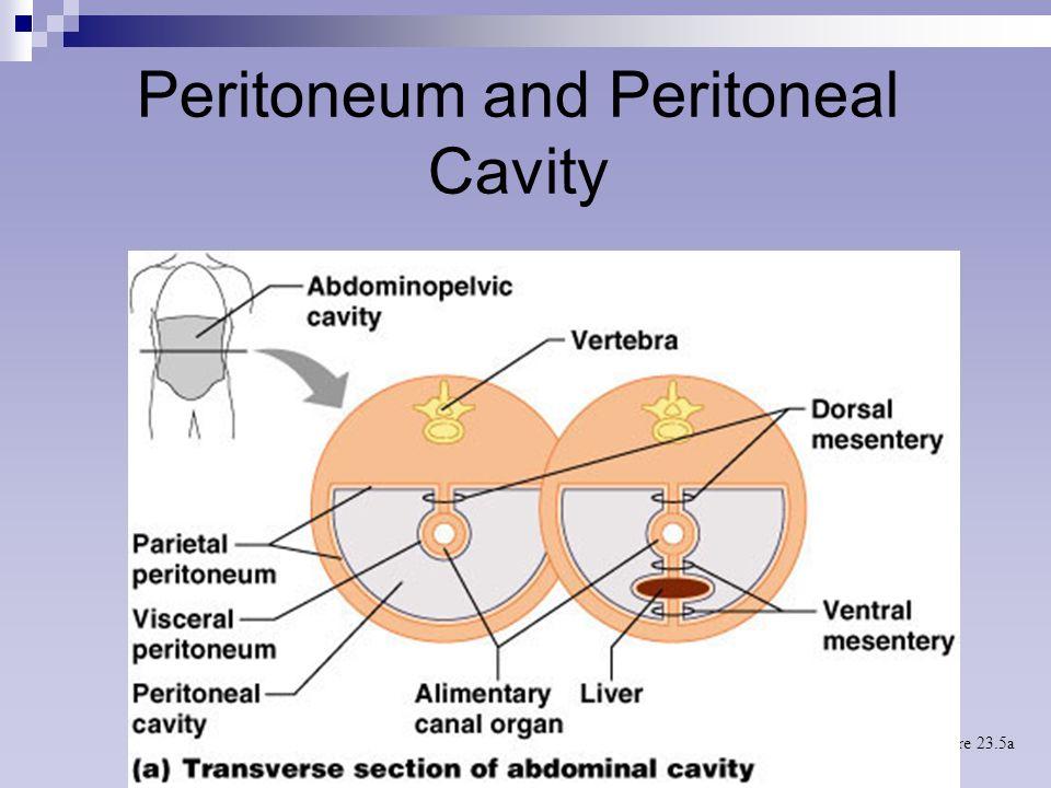 Perfect Peritoneal Cavity Anatomy Ornament - Anatomy And Physiology ...