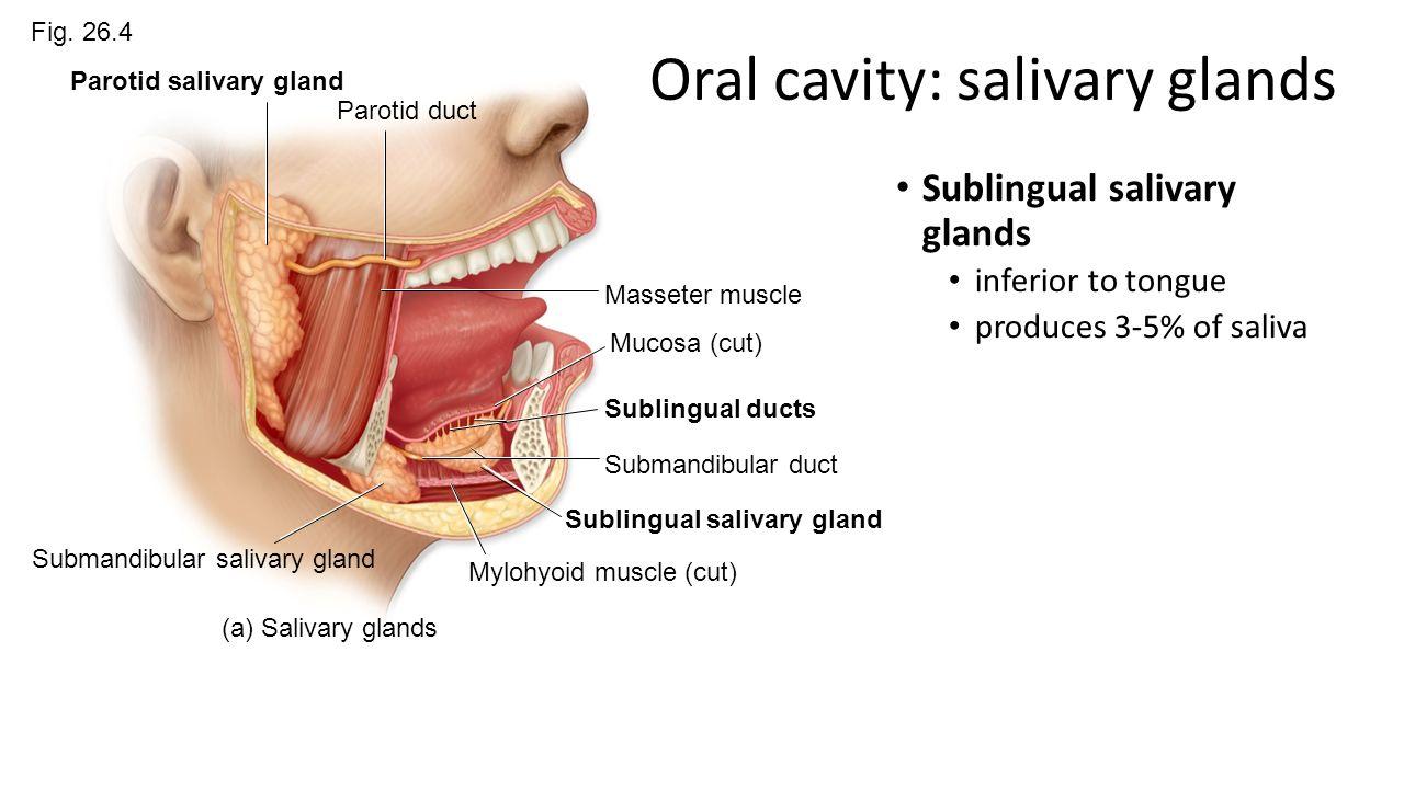 Modern Salivary Gland Ducts Anatomy Photos - Human Anatomy Images ...