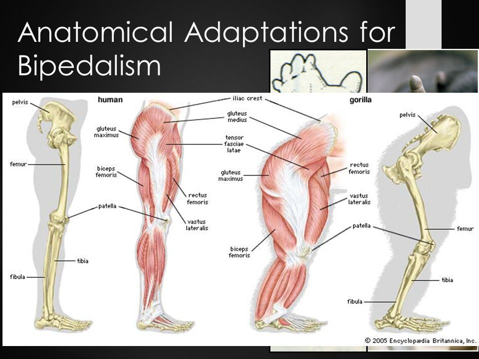 Nice Anatomy Of Bipedalism Pictures - Anatomy And Physiology Biology ...