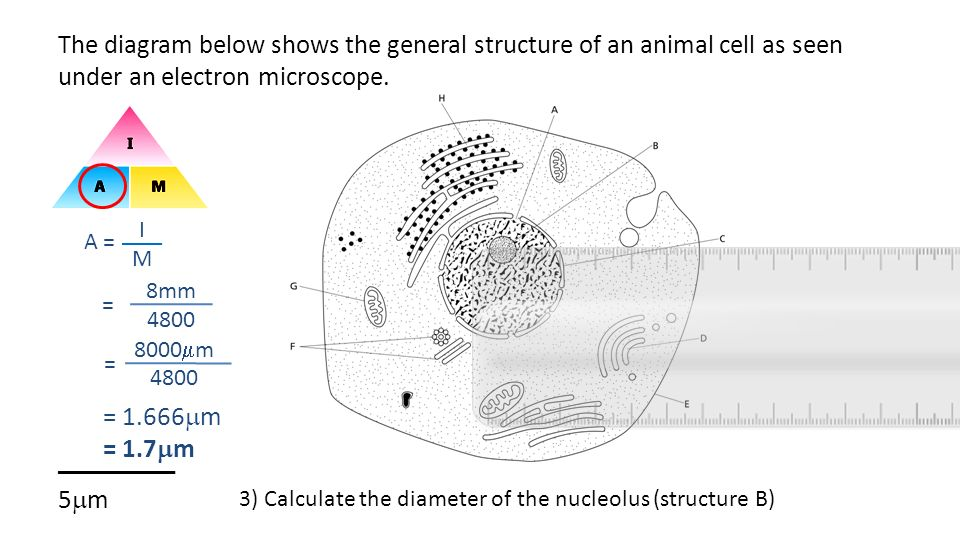 The diagram below shows the general structure of an animal cell as seen under an electron microscope. _________ 5m
