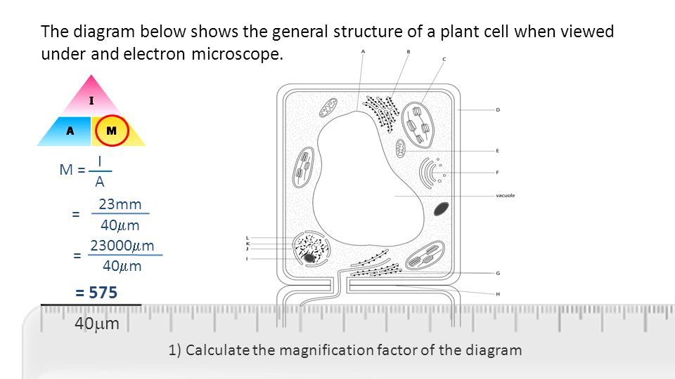 Microscopy and magnification ppt video online download the diagram below shows the general structure of a plant cell when viewed under and electron ccuart Image collections