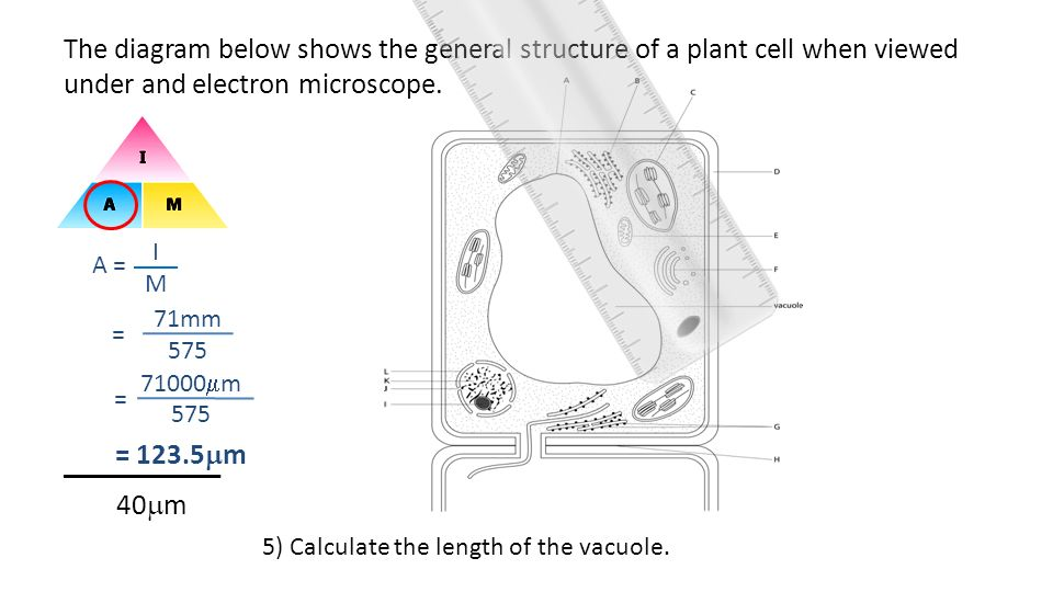 The diagram below shows the general structure of a plant cell when viewed under and electron microscope. ___________ 40m