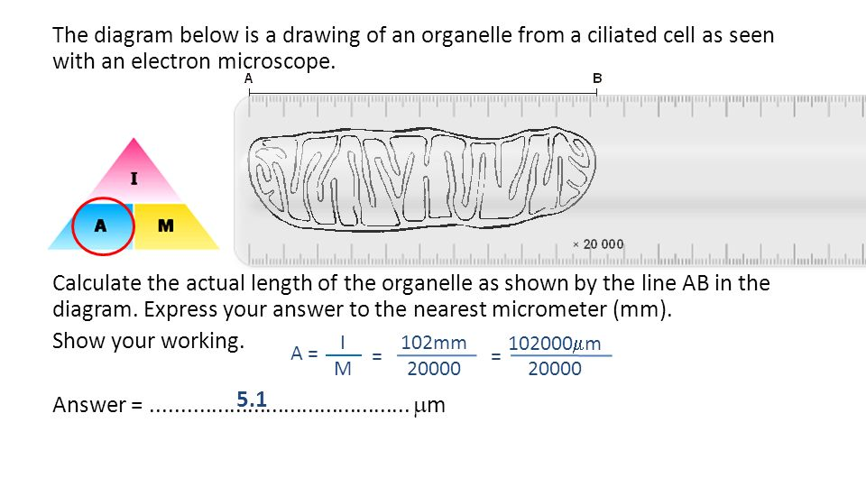 The diagram below is a drawing of an organelle from a ciliated cell as seen with an electron microscope. Calculate the actual length of the organelle as shown by the line AB in the diagram. Express your answer to the nearest micrometer (mm). Show your working. Answer = ........................................... mm