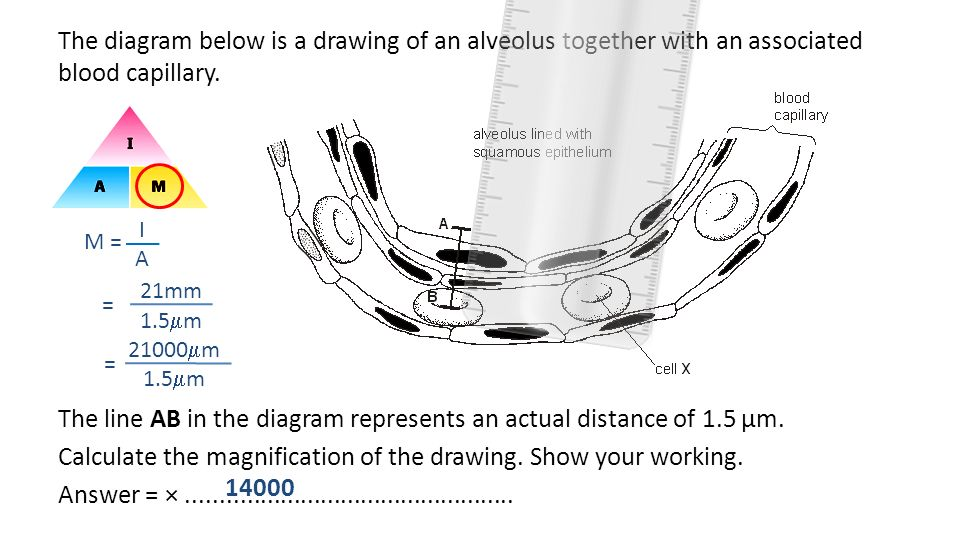 The diagram below is a drawing of an alveolus together with an associated blood capillary. The line AB in the diagram represents an actual distance of 1.5 µm. Calculate the magnification of the drawing. Show your working. Answer = × .................................................