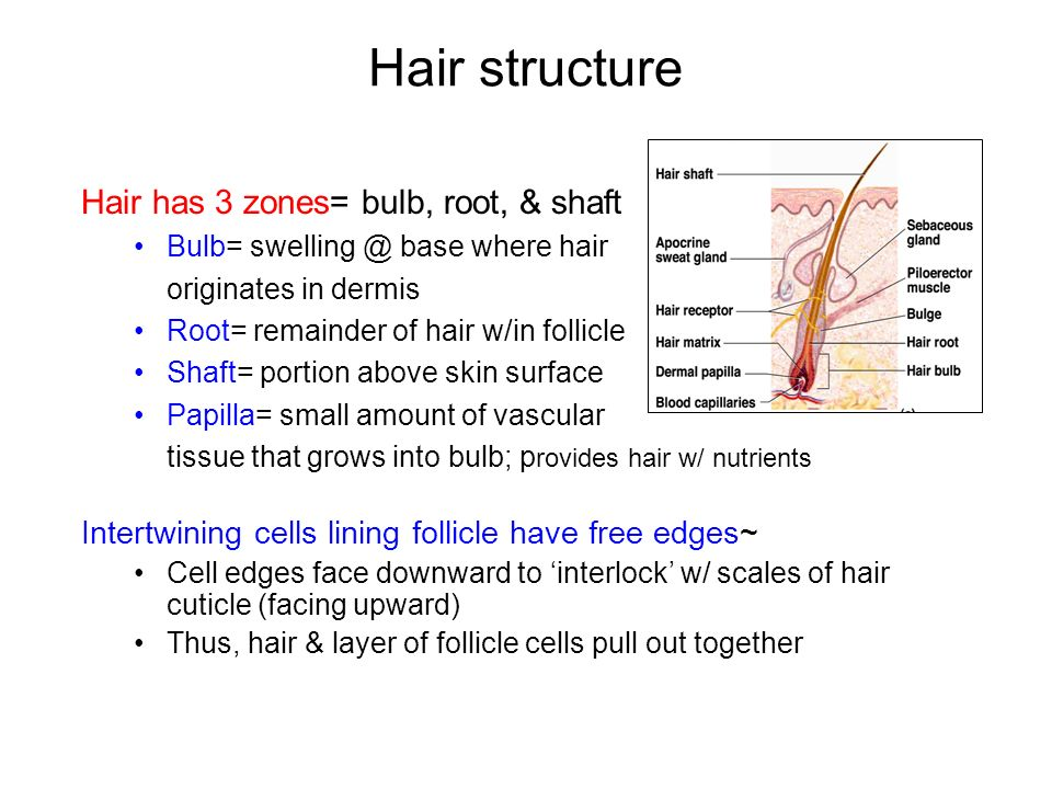 a hair grows in a diagonal epithelial tube called a Start studying ch 6 & 7 each hair grows in an oblique epithelial tube a deficiency of oxygen in the blood can give rise to a skin color called.