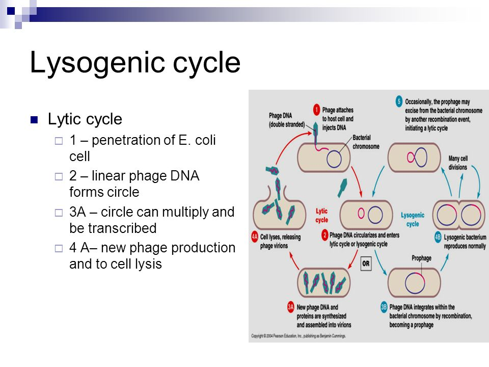 lytic and lysogenic cycle of bacteriophage pdf