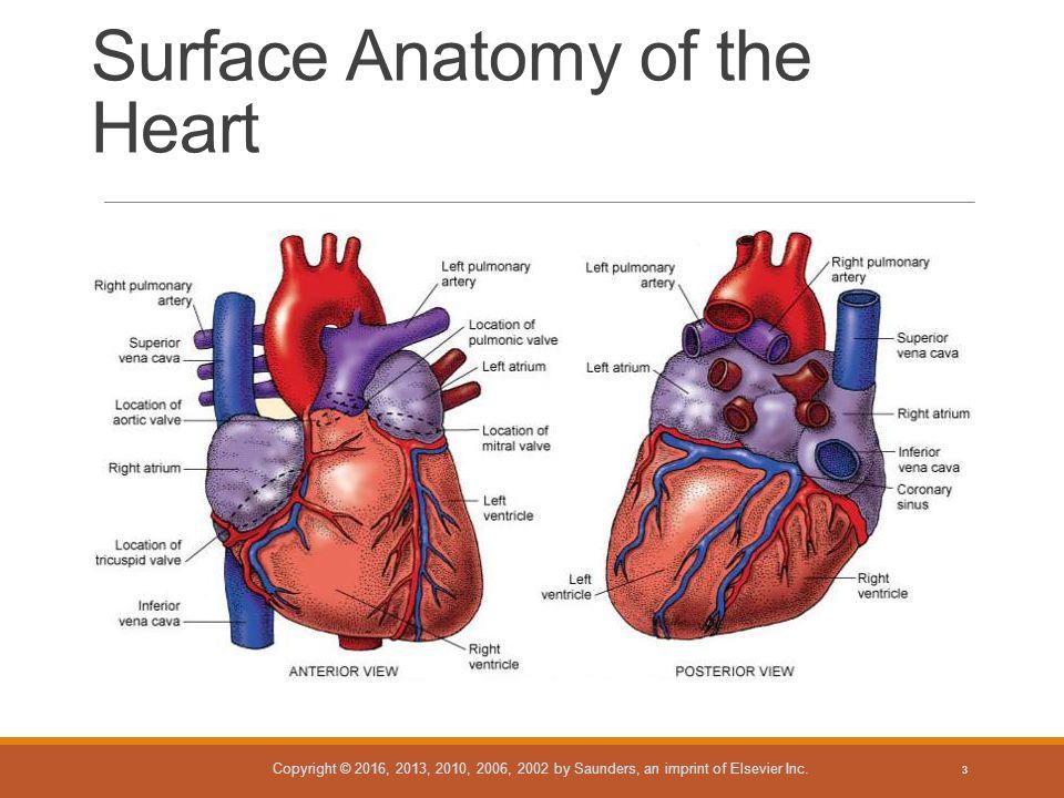 Anatomy of ivc
