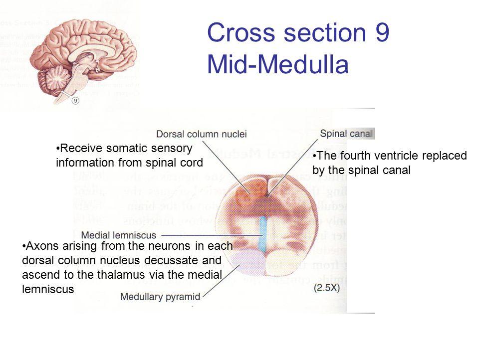 Medulla Cross Section 4th Ventricle | fotohof