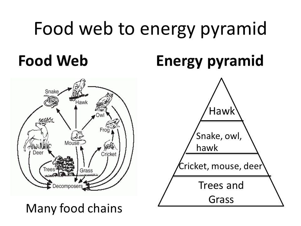 hawk food web diagram