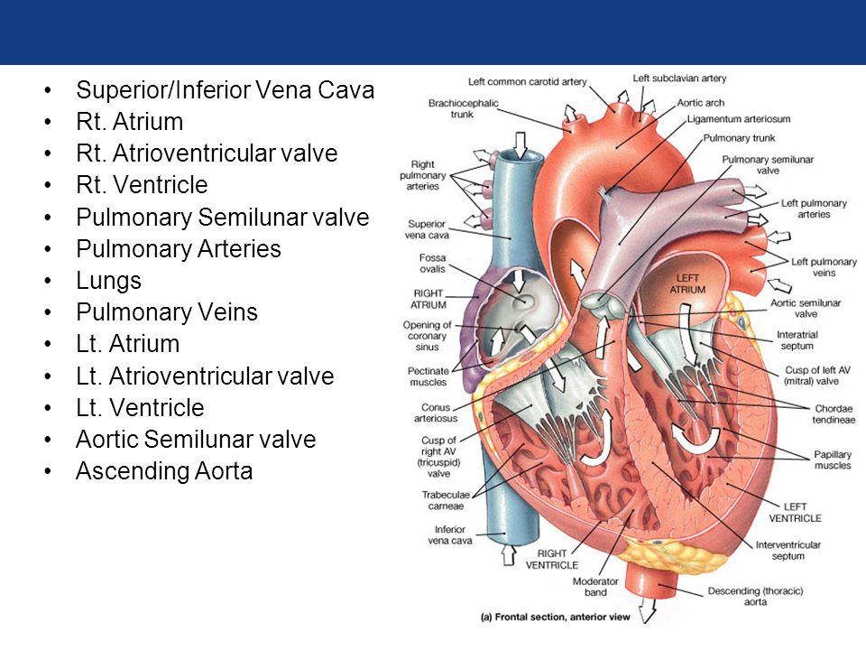 functional anatomy of heart pdf