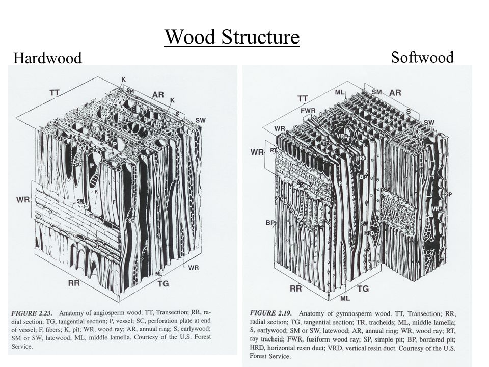 Wood structure hardwood softwood ppt video online download