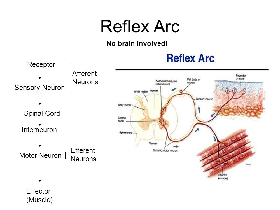 The nervous system ppt video online download receptor afferent neurons sensory neuron ccuart Gallery