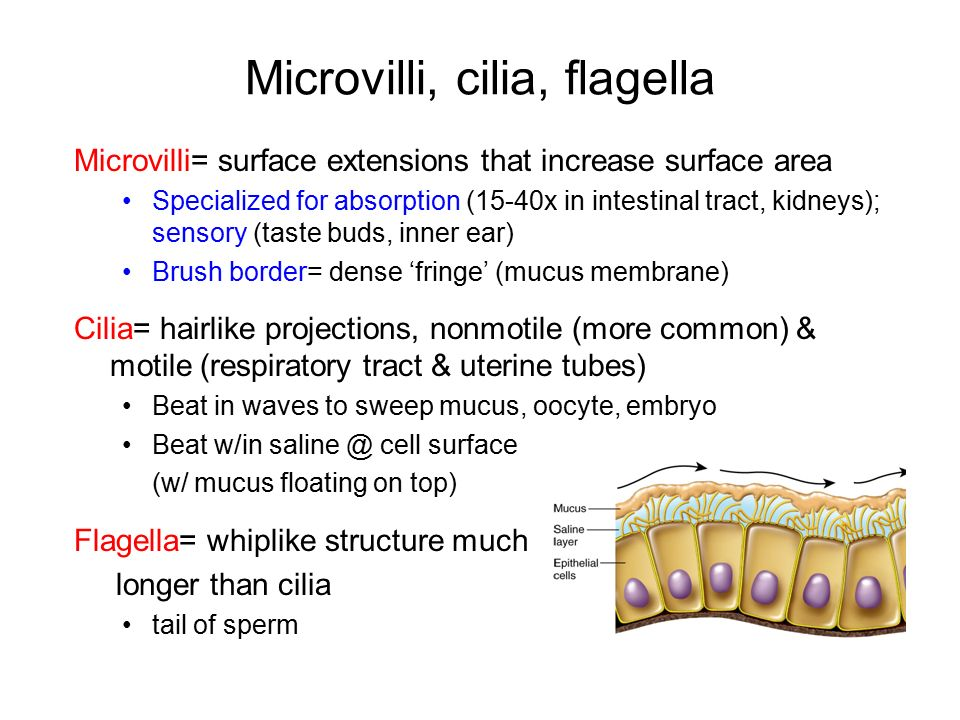 List of synonyms and antonyms of the word microvilli function hot seat cell structure and function what are two differences ccuart Image collections