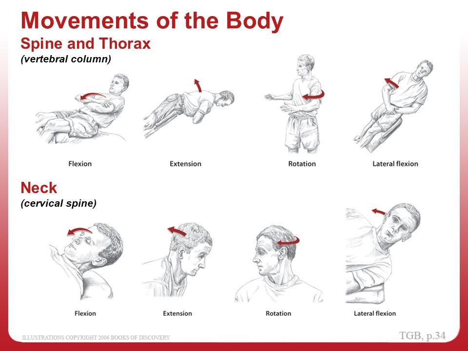 Neck Movements Anatomy