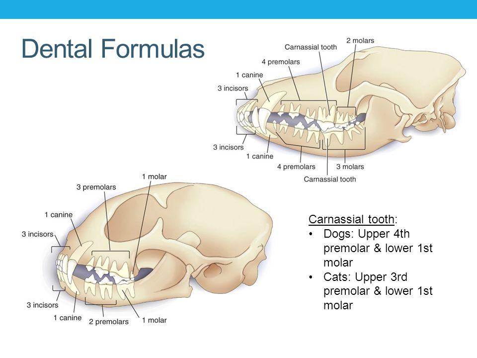 A lesson on dental formulas - Album on Imgur