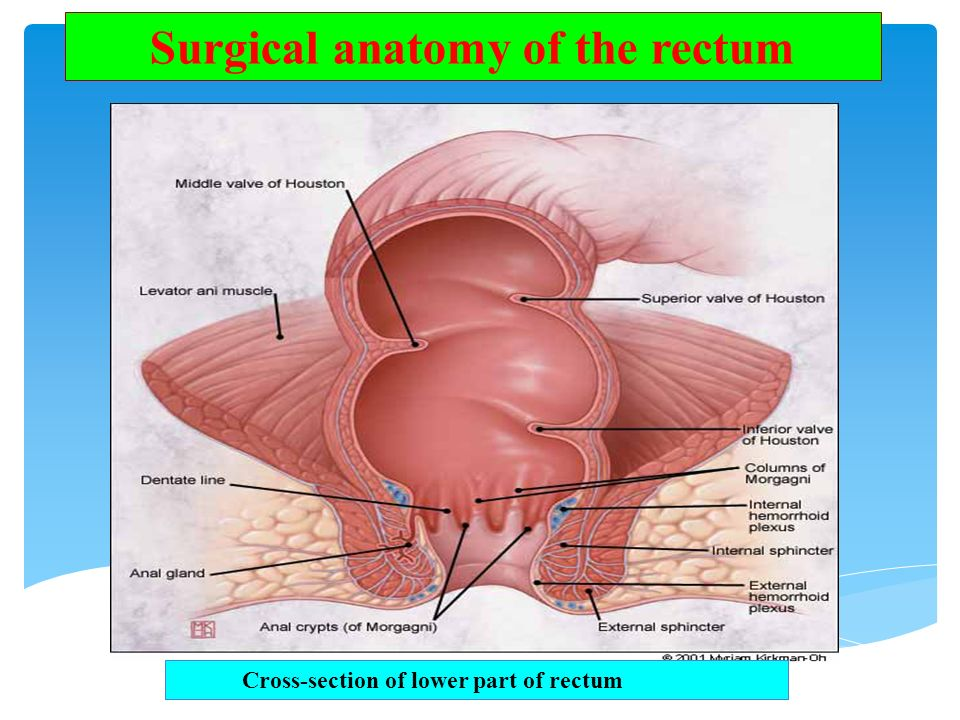 Surgical+anatomy+of+the+rectum.jpg