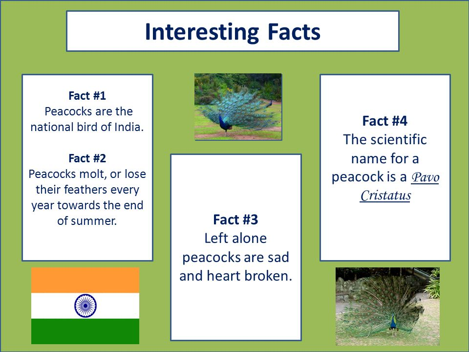 Indian Peacock By: Roshni Lobo - ppt download
