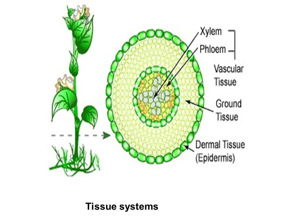 Plant tissues. - ppt video online download