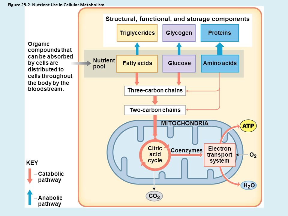anabolic reactions produce nadh and atp