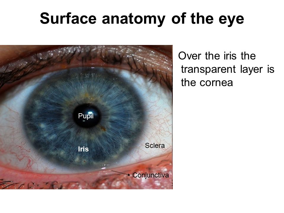 Surface anatomy of the eye - ppt video online download