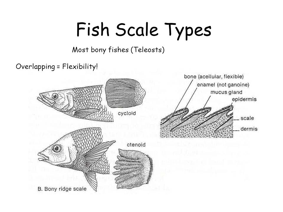 Welcome to ecology of fishes laboratory zoology ppt video for Types of bony fish